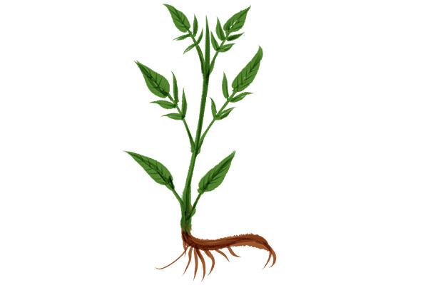 败酱草的功效与作用 败酱草的好处
